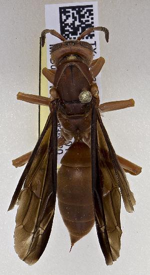 (Polistes cf. rubiginosus - PMAE0652)  @11 [ ] BY-NC-SA (2017) Royal Alberta Museum Royal Alberta Museum