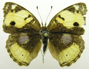(Junonia hierta - USNM ENT 00676399)  @13 [ ] Unspecified (default): All Rights Reserved  Unspecified Unspecified