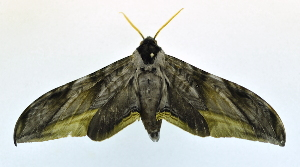 (Acanthosphinx guessfeldti - USNM ENT 00808723)  @15 [ ] Unspecified (default): All Rights Reserved  Unspecified Unspecified