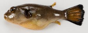 (Arothron immaculatus - M014-002)  @11 [ ] Copyright (2013) D. Ponton IRD