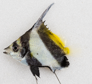 (Heniochus sp - M036-010)  @11 [ ] Copyright (2014) D. Ponton IRD