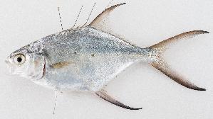 (Trachinotus baillonii - M072-001)  @15 [ ] Copyright (c) (2014) D. Ponton IRD