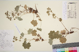 (Alchemilla glaucescens - TROM_V_115480_sg)  @11 [ ] by-nc-sa (2016) Unspecified Tromso University Museum