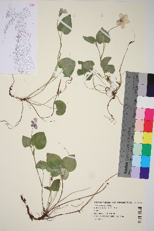 (Viola riviniana - TROM_V_133961_sg)  @11 [ ] by-nc-sa (2015) Unspecified Tromsø University Museum