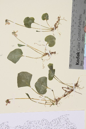 (Viola palustris - TROM_V_134089_sg)  @11 [ ] by-nc-sa (2015) Unspecified Tromsø University Museum
