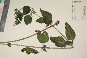 (Urtica dioica dioica - TROM_V_135265_sg)  @11 [ ] by-nc-sa (2017) Unspecified Tromsø University Museum