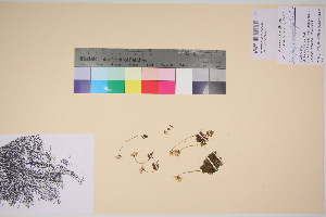 (Saxifraga serpyllifolia - TROM_V_135933_sg)  @11 [ ] by-nc-sa (2017) Unspecified Tromsø University Museum