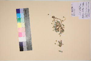 (Stellaria alaskana - TROM_V_135946_sg)  @11 [ ] by-nc-sa (2017) Unspecified Tromsø University Museum