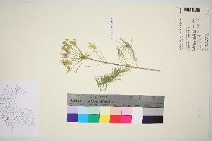 (Euphorbia cyparissias - TROM_V_148646_sg)  @11 [ ] by-nc-sa (2016) Unspecified Tromso University Museum