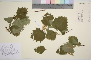 (Crataegus sanguinea - TROM_V_148854_sg)  @11 [ ] by-nc-sa (2016) Unspecified Tromso University Museum