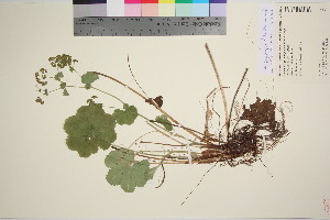 (Alchemilla propinqua - TROM_V_149280_sg)  @11 [ ] by-nc-sa (2016) Unspecified Tromso University Museum