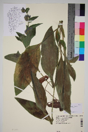 (Boraginoideae - TROM_V_149478_sg)  @11 [ ] by-nc-sa (2016) Unspecified Tromso University Museum