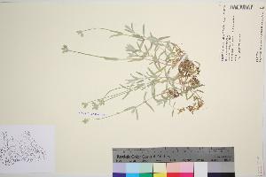 (Cerastium tomentosum - TROM_V_149788_sg)  @11 [ ] by-nc-sa (2016) Unspecified Tromso University Museum