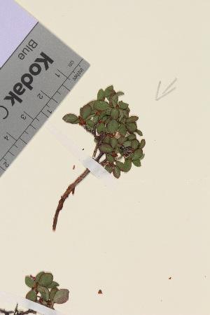 (Vaccinium uliginosum ssp microphyllum - TROM_V_162265_sg)  @11 [ ] by-nc-sa (2015) Unspecified Tromsø University Museum