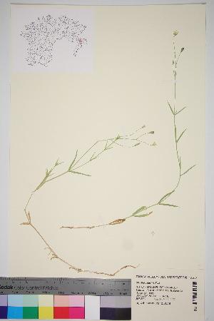 (Stellaria palustris - TROM_V_163957_sg)  @11 [ ] by-nc-sa (2016) Unspecified Tromso University Museum