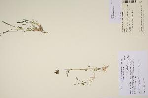(Silene pauciflora - TROM_V_200479_sg)  @11 [ ] by-nc-sa (2017) Unspecified Tromsø University Museum