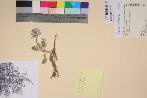 (Polemonium villosissimum - TROM_V_201619_sg)  @11 [ ] by-nc-sa (2017) Unspecified Tromsø University Museum