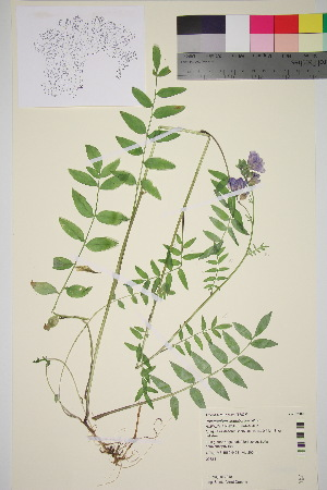 (Polemonium acutiflorum - TROM_V_202109_sg)  @11 [ ] by-nc-sa (2016) Unspecified Tromso University Museum