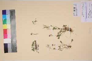 (Cardamine purpurea - TROM_V_301128_sg)  @11 [ ] by-nc-sa (2017) Unspecified Tromsø University Museum
