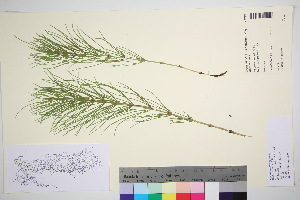(Equisetum pratense - TROM_V_380161_sg)  @11 [ ] by-nc-sa (2016) Unspecified Tromso University Museum