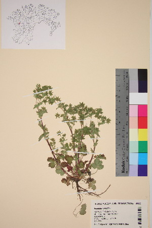 (Potentilla norvegica - TROM_V_45008_sg)  @11 [ ] by-nc-sa (2016) Unspecified Tromso University Museum