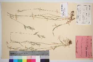 (Bromus hordeaceus - TROM_V_48936_sg)  @11 [ ] by-nc-sa (2016) Unspecified Tromso University Museum