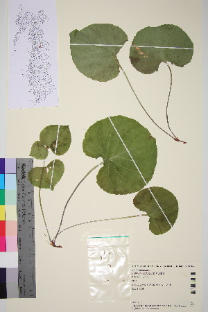 (Viola mirabilis - TROM_V_651589_sg)  @11 [ ] by-nc-sa (2015) Unspecified Tromsø University Museum