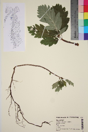 (Sorbus hybrida - TROM_V_81191_sg)  @11 [ ] by-nc-sa (2016) Unspecified Tromso University Museum