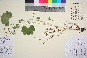 (Alchemilla semilunaris - TROM_V_85710_sg)  @11 [ ] by-nc-sa (2016) Unspecified Tromso University Museum