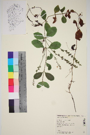 (Veronica officinalis - TROM_V_87137_sg)  @11 [ ] by-nc-sa (2015) Unspecified Tromsø University Museum