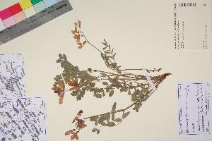 (Hedysarum mackenzii - TROM_V_89636_sg)  @11 [ ] by-nc-sa (2017) Unspecified Tromsø University Museum