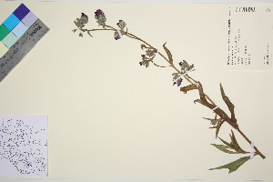 (Anchusa officinalis - TROM_V_89875_sg)  @11 [ ] by-nc-sa (2016) Unspecified Tromso University Museum