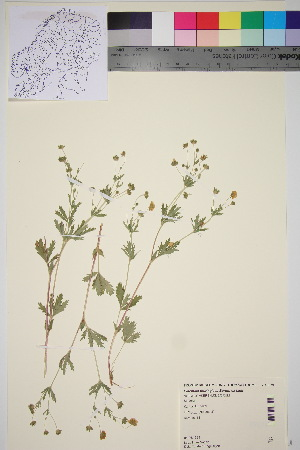 (Potentilla thuringiaca - TROM_V_89879_sg)  @11 [ ] by-nc-sa (2016) Unspecified Tromso University Museum