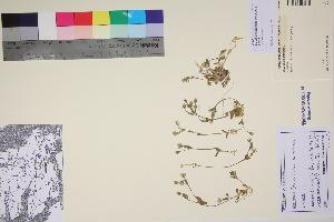(Cerastium beeringianum - TROM_V_90269_sg)  @11 [ ] by-nc-sa (2017) Unspecified Tromsø University Museum