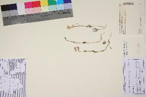 (Cardamine digitata - TROM_V_90311_sg)  @11 [ ] by-nc-sa (2017) Unspecified Tromsø University Museum