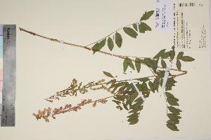 (Hedysarum alpinum var. americanum - TROM_V_90521_sg)  @11 [ ] by-nc-sa (2017) Unspecified Tromsø University Museum