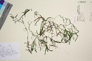 (Potamogeton obtusifolius - TROM_V_91198_sg)  @11 [ ] by-nc-sa (2016) Unspecified Tromso University Museum