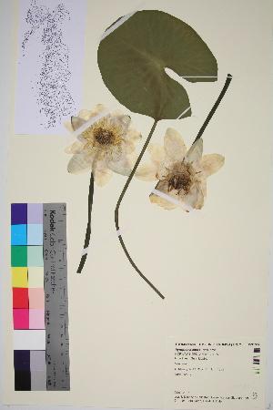 (Nymphaea alba - TROM_V_91587_sg)  @11 [ ] by-nc-sa (2016) Unspecified Tromso University Museum