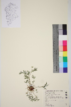 (Potentilla pulchella - TROM_V_92885_sg)  @11 [ ] by-nc-sa (2016) Unspecified Tromso University Museum