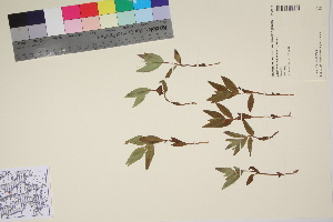 (Chamerion latifolium - TROM_V_92927_sg)  @11 [ ] by-nc-sa (2017) Unspecified Tromsø University Museum
