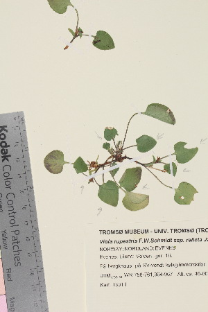 (Viola rupestris - TROM_V_940084_sg)  @11 [ ] by-nc-sa (2015) Unspecified Tromsø University Museum