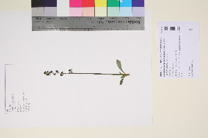 (Saxifraga hieracifolia - TROM_V_94032_sg)  @11 [ ] by-nc-sa (2017) Unspecified Tromsø University Museum