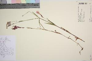 (Dianthus superbus - TROM_V_961915_sg)  @11 [ ] by-nc-sa (2016) Unspecified Tromso University Museum