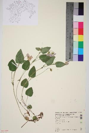 (Viola canina ssp nemoralis - TROM_V_962437_sg)  @11 [ ] by-nc-sa (2015) Unspecified Tromsø University Museum