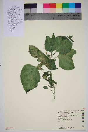 (Solanum nigrum - TROM_V_963000_sg)  @11 [ ] by-nc-sa (2016) Unspecified Tromso University Museum