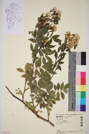 (Rosa multiflora - TROM_V_963192_sg)  @11 [ ] by-nc-sa (2016) Unspecified Tromso University Museum