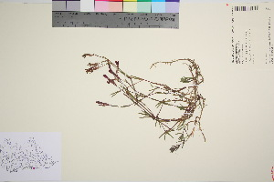(Dianthus deltoides - TROM_V_963391_sg)  @11 [ ] by-nc-sa (2016) Unspecified Tromso University Museum