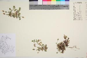 (Cerastium nigrescens - TROM_V_963741_sg)  @11 [ ] by-nc-sa (2016) Unspecified Tromso University Museum