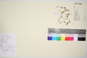 (Epilobium anagallidifolium - TROM_V_963775_sg)  @11 [ ] by-nc-sa (2016) Unspecified Tromso University Museum