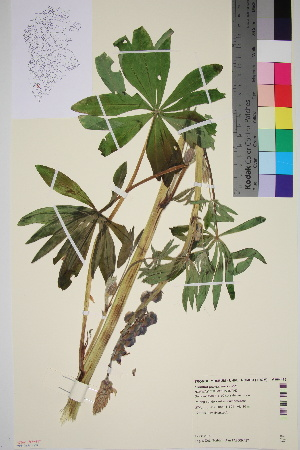 (Lupinus polyphyllus - TROM_V_964475_sg)  @11 [ ] by-nc-sa (2016) Unspecified Tromso University Museum